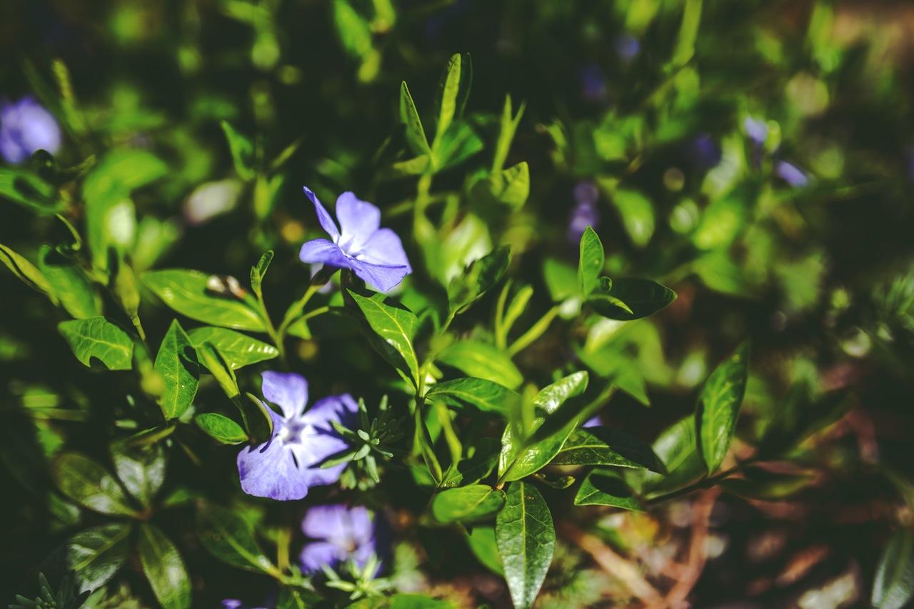 flowers-purple-garden-plant
